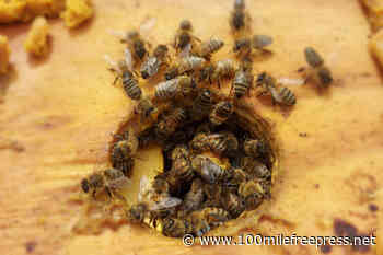 PSO beekeepers mind their own hive - 100 Mile Free Press
