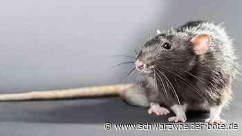 Ortsbaumeister informiert - Was tun gegen Ratten in Niedereschach? - Schwarzwälder Bote