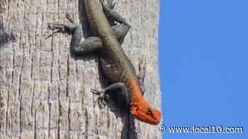 Reptiles con cabeza roja se extienden por el sur de Florida y causan preocupación - WPLG Local 10