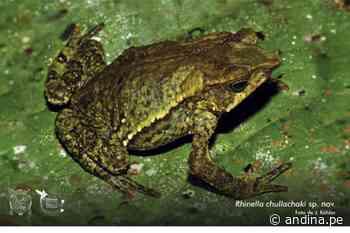 ¡Hallazgo! Biólogos peruanos descubren nueva especie de sapo en Huánuco - Agencia Andina