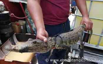 Cocodrilos se salen de las lagunas en Madero, emiten alerta - El Sol de Tampico