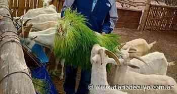 Bermejo alimenta su tambo caprino cultivando forraje hidropónico - DIARIO DE CUYO