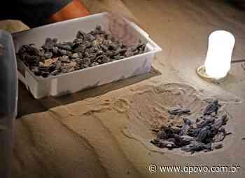 Voluntários ajudam em nascimento de 150 tartarugas-de-pente em Aquiraz - O POVO
