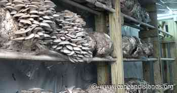 Growing Oyster Mushrooms in Truro   CAI - WCAI