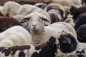 Mindelheim: Loch in Zaun gezwickt – Schafe entlaufen - BSAktuell