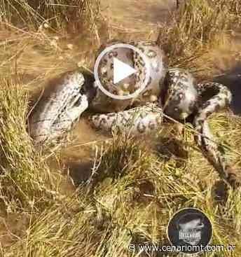 (VÍDEO) Pescador flagra briga entre duas sucuris em Lucas do Rio Verde - CenárioMT