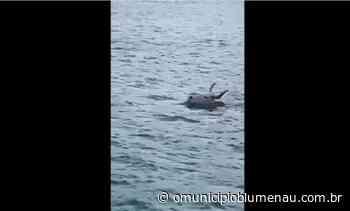 VÍDEO – Boi é flagrado nadando no mar em Porto Belo; suspeita é de fuga de 'farristas' - O Município Blumenau