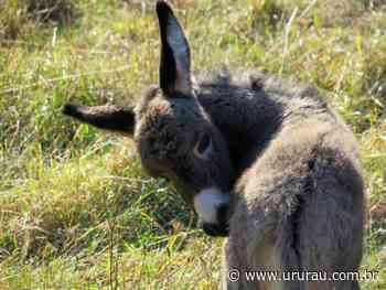 Argumento de burro - Portal Ururau - Site de Notícias - Campos dos Goytacazes - Ururau