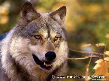 """Evangelisti (CM): """"Lupi anche a Budrio: riportare questi animali protetti nel loro habitat naturale"""" - Carta Bianca News - CartaBianca news"""