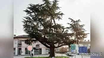Una raccolta firme per salvare il cedro secolare di Campoformido - UdineToday
