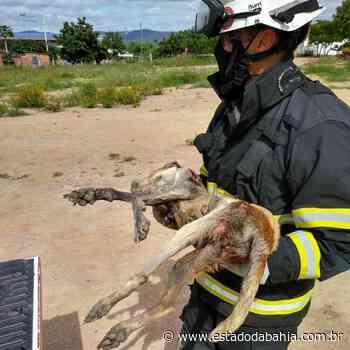 Municípios Bombeiros resgatam cadela em canal de esgoto na cidade de Itaberaba - Rahiana