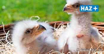 Nachwuchs im Weltvogelpark Walsrode: Drillinge im Adlerhorst - Hannoversche Allgemeine