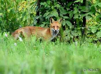 Yvelines. Trop de ravages : les renards de La Celle-Saint-Cloud vont être piégés et abattus - actu.fr