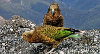 Papagaios raros podem ter fugido para os Alpes para evitar humanos - HORA 7