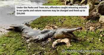 Ilegal para liberar animales en las aguas de S'pore: PUB & NParks después de que el cadáver de un cocodrilo fue arrastrado a tierra en MacRitchie - Red De Noticias