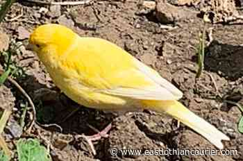 Canary found in garden in North Berwick; appeal to find its owner - East Lothian Courier