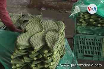 El cactus, el aliado de la purificación de los océanos - Juárez a Diario