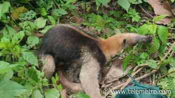 MiAmbiente: Oso hormiguero en Los Santos cerca de extinguirse - Telemetro
