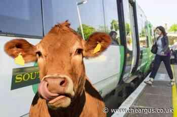 Herd of cows roam through the streets of Haywards Heath