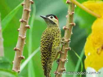 Estudante identifica espécies de aves em bairro de Ipatinga - Jornal Diário do Aço