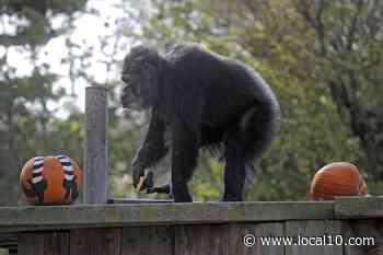 Muere chimpancé más viejo de EEUU en el zoo de San Francisco - WPLG Local 10