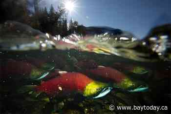 Federal ministers outline principles of $647M fund to protect Pacific salmon