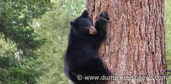 Comments on: Black bear and cub spotted in Courtice - durhamradionews.com