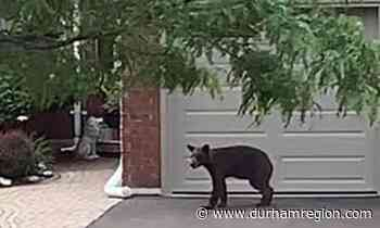 Three places you might spot a bear in Courtice - durhamregion.com