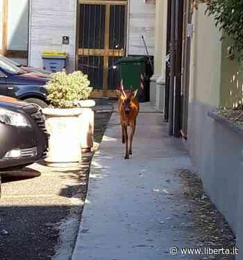 Capriolo intrappolato in un cancello in pieno centro a Castel San Giovanni - Libertà