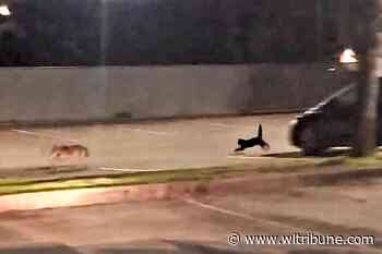 VIDEO: Little but fierce: Cat spotted chasing off coyote by Port Moody police – Williams Lake Tribune - Williams Lake Tribune