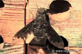 Ihre Larven fressen andere Insekten auf - TAGEBLATT: Nachrichten aus Stade, Buxtehude und der Region - Tageblatt-online