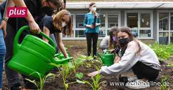 Trebur: Kohlrabi aus dem Schulgarten - Echo Online