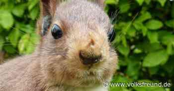 Forstamt Bitburg: mehr als 100 Namensvorschläge für Eichhörnchen - Trierischer Volksfreund
