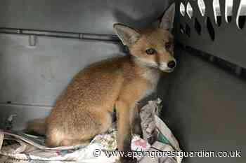 RSPCA save fox who fell 20 feet in Waltham Cross - Epping Forest Guardian