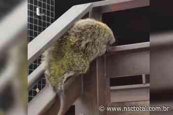 Porco-espinho é capturado na escada de prédio em Navegantes | NSC Total - NSC Total