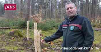 Eltville: Mehrheit für biologisch abbaubare Verbissschutzhüllen - Wiesbadener Kurier