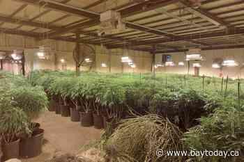 5,000 cannabis plants seized near Burk's Falls