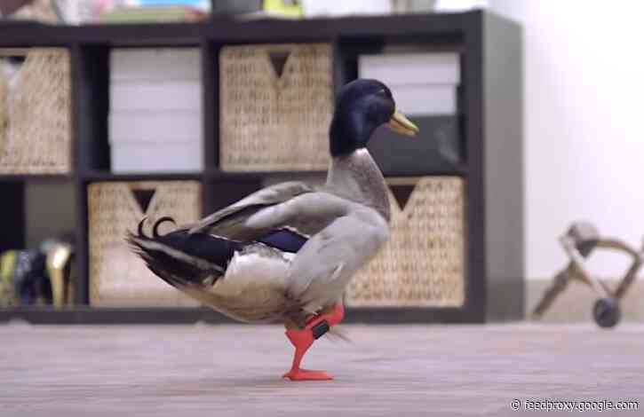 A Duck Gets a Prosthetic Leg & Waddles Along