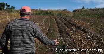 Ladrões furtam 4 mil mudas de videira em Flores da Cunha e agricultor tem prejuízo de R$ 32 mil | Pioneiro - GauchaZH