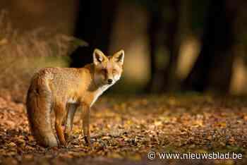 Antwerpse Zoo kampt met wilde vos als ongewenste bezoeker