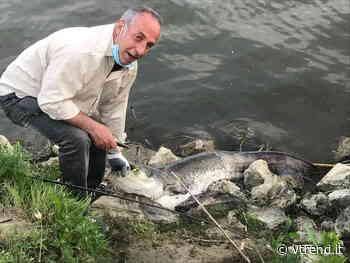 Pesce siluro di 50kg catturato a Calcinaia - VTrend.it