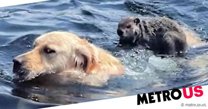 Moment golden retriever gives woodchuck a ride on his back in a lake