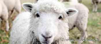 Champagnole - Verdict rendu dans l'affaire du mouton tagué - La Voix de l'Ain