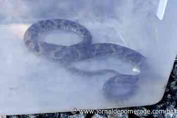 Cobra peçonhenta é capturada em telhado, no Ribeirão Areia - Jornal de Pomerode