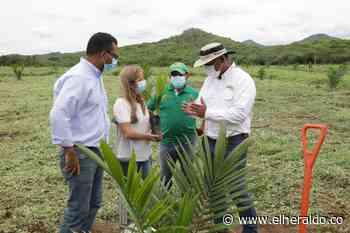 Siembran primera hectárea de palma de aceite en Repelón - EL HERALDO