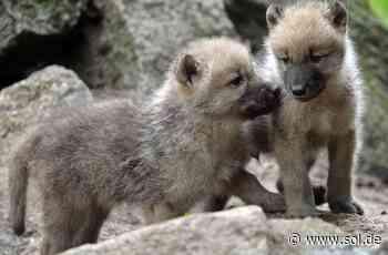 """Merzig: Nachwuchs im Wolfspark """"Werner Freund"""" - drei Polarwolf-Mädchen - sol.de"""