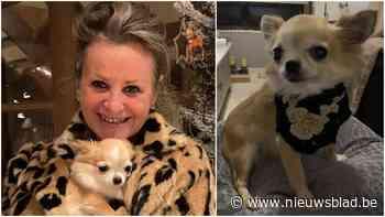 """Chihuahua getraumatiseerd door inbraak waarbij daders aan de haal gaan met tienduizenden euro's aan juwelen: """"Het belangrijkste is dat Chanel nog leeft"""" - Het Nieuwsblad"""