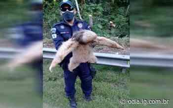 Bicho-preguiça é resgatado em rodovia pela Guarda Municipal de Silva Jardim - Jornal O Dia