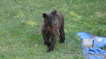 Sauvetage Animal Rescue 'in shock' after bear captured in Dorval euthanized - CTV News Montreal