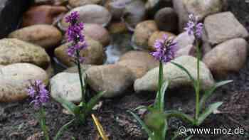 Pflanzen: In einem Garten in Bad Saarow blühen seltene Blumen – sie haben eine besondere Geschichte - moz.de